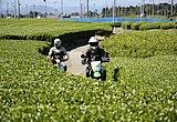 第九回 お茶の本場で茶摘みにトライ!(静岡県)