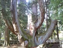将軍杉は推定樹齢約1800年、幹の周りは19m31cm、樹高約40m。根本の近くから6本の大支管に別れていますが、中央の1本は昭和36年秋の第二室戸台風のため折損しました。