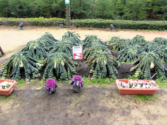 建物前にある畑では、ギネスにも認定される世界一大きな大根『桜島大根』が育てられていました。今まで土に植わっている状態では見たことがなかったのですが、一般的な大根と同じ様に上部が土から出ています。