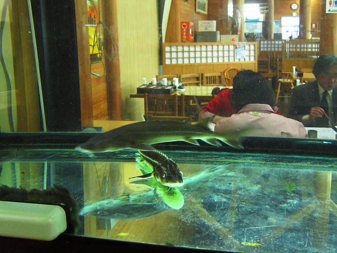 北川町はチョウザメを養殖してキャビアを生産しています。そのチョウザメが入った水槽が情報コーナーに置かれています。