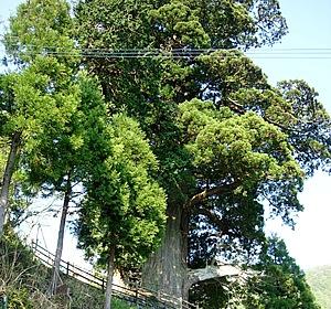 箒杉。樹齢2000年といわれる巨木は、国指定の天然記念物に指定されている。