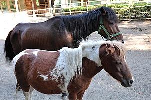 服部牧場の100ヘクタールの敷地内には、ジャージー牛やホルスタインの他に、馬や羊、豚だけではなく、ウサギやアヒルも放牧され家族で遊びに来ても楽しむコトが可能。