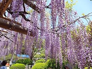牛島の藤は、目で楽しむ、そして香りを楽しむすごい藤。開花期間も長いので、晴れた日に行きたい場所。