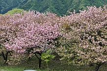 妙義山周辺は桜の名所のようです。2012年5月12日には、八重桜がほぼ満開でした。新緑は滴るばかりの美しさ。