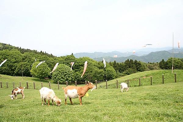 秩父高原牧場の一角にある彩の国ふれあい牧場。4月に子羊も生まれ賑やかに。ヤギや羊たちをなでちゃったりできます! また、3haのポピー畑は5月中旬~6月上旬が圧巻。真っ赤な畑沿いは爽快な走りが楽しめます!