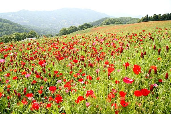 秩父高原牧場内にあるポピー畑。見頃は5月から6月上旬で、1000万本の真っ赤なポピーが斜面に咲きほこる。牧場内とは言え、道沿いに広がる鮮やかなポピーと山々の絶景を楽しめる