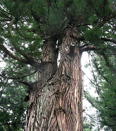 諏訪大社春宮の境内に立つ御神木。樹高39m、見上げると先のほうが2股に分かれ、根元は1つ。珍しい幹とあって縁結びの神徳「結びの杉」と呼ばれている。「知り合えた人たちと共に幸せになりますように」と合掌