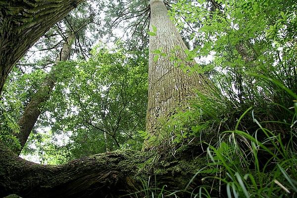 大滝神社は熊野の那智山本宮から神霊が奉じられ、神霊を運んできた時に、持ってきた杖が根を張って、樹齢千年の「じい杉ばあ杉」に成長したと言う伝説がある。寄り添う巨杉に、恋愛成就も期待ありかなって思えちゃう!!